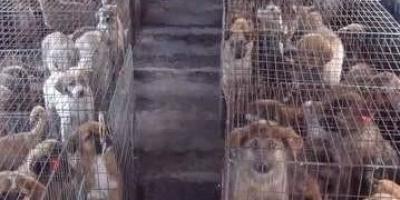 养500条肉狗要投资多少钱?
