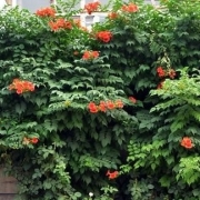 有些农村庭院种植凌霄花很流行,为啥有的农村老人很讨厌这种花呢?凌霄容易种植吗?