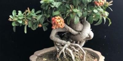 盆景上盆后的根怎么长粗的?