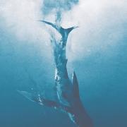 """鲸鱼死后的尸体到底会经历什么?为什么会有""""一鲸落,万物生""""的说法?"""