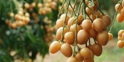 黄皮果是一种什么样的水果?有哪些营养价值?