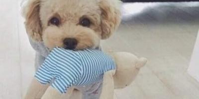 """为什么有人说不要轻易养泰迪犬,养它有什么""""危害""""呢?"""