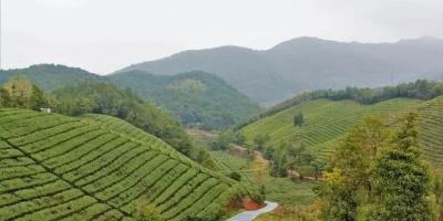 南京20亩茶园,8000元一亩一次性买断,划算吗?