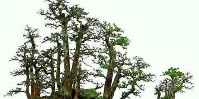 博兰盆景是什么?