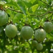百香果树快死了怎么办?