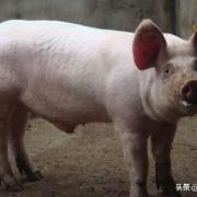 为什么好多农村人到过年时候都喜欢自家杀猪?