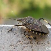 """""""臭大姐""""是一种怎样的昆虫?为何会发出臭味,有毒吗?"""