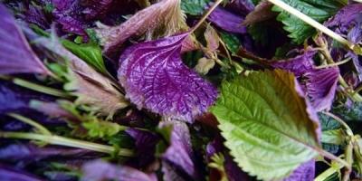 """为什么紫苏在我国古代被称为""""荏苒""""?"""