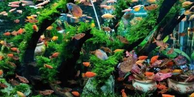 弄了个鱼缸想养点淡水鱼,孔雀,米奇,一眉哪个好养?能混养吗?
