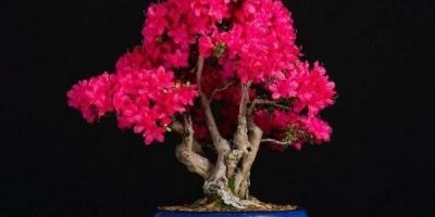 怎样制作出漂亮的杜鹃花盆景?