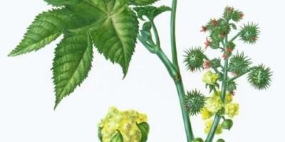 植物蓖麻长什么样,有什么用途?