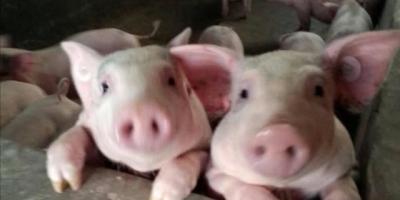 现在一些农村到处建养猪场,严重影响到村民的居住环境,怎么办?