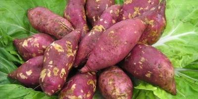 糖尿病人可以吃红薯吗?有什么科学依据?
