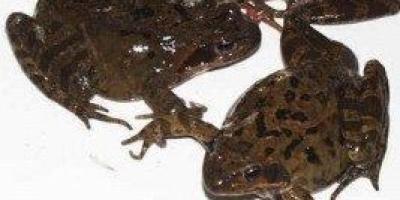 吉林林蛙为什么那么出名?