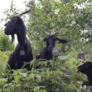 羊群中的头羊是自然挑选还是人为培养的?
