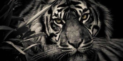 理论上来讲老虎是不可能被蛇毒死的对吗?