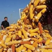 过完年,玉米会不会降价?