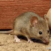 最近几年为什么感觉老鼠越来越小了呢?