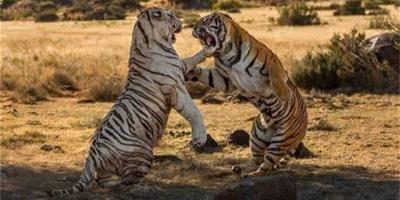 老虎放到非洲大草原上还能活下去吗?会不会被狮群消灭?