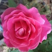 玫瑰和月季怎么区分?最简单的方法是什么?