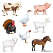 最聪明的家禽类动物是什么?有什么依据?