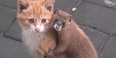 猫能打败黄鼠狼吗?