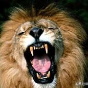 被拔掉牙,拔掉利爪的一头公狮能咬死人吗?
