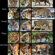东北虎不就是大型老虎?