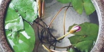家里有以前的大缸,想在里面种藕。应该怎么种?需要注意什么呢?