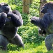 为什么吃素的大猩猩没有蛋白粉却一身肌肉比人类都强壮?