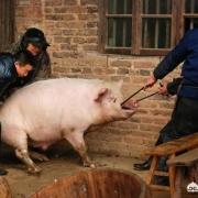 """农村老人说:""""猪草包,羊好汉,牛的眼泪打转转"""",说的啥意思?有道理吗?"""