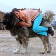 高加索犬能够击败北美灰狼吗?