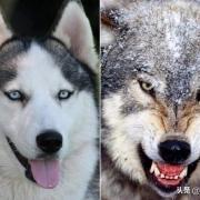 狗可以和狼杂交成狼狗,好像没有听说过鬣狗的杂交品种,鬣狗能和狗杂交吗?