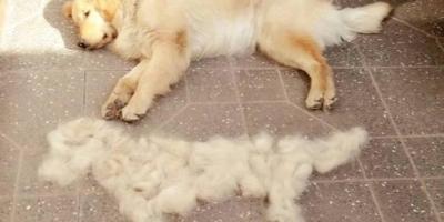 如何有效的清除家里狗毛?