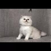 猫舍怎么处理那些品相差的猫?