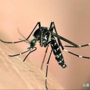 花蚊子来到中国不到50年,但人们已无法乘凉,它是何方神圣?
