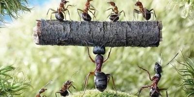 蚂蚁之间是用什么通讯的,为什么很远的地方有食物蚂蚁能知道?