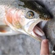 一条被缩头鱼虱完全寄生的鱼,脱离缩头鱼虱后还能活吗?