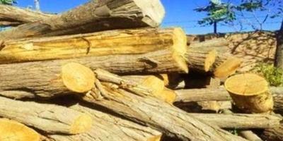 农村常见的洋槐木有什么用处?