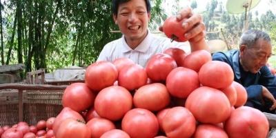 都说西红柿是用催红剂催红的,吃了对身体有害吗?