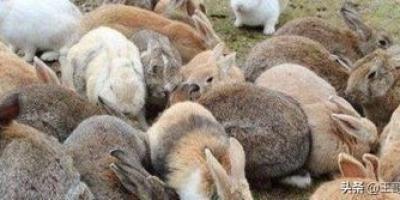 如果澳大利亚兔灾交给中国,我们能用吃解决这100亿兔子吗?