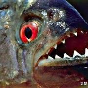 食人鱼如此可怕,为什么没有在亚马逊河泛滥?