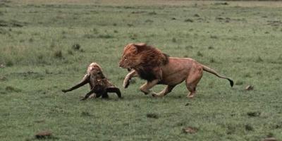 鬣狗为什么很难被杀死?