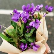 紫花地丁几月份开花,它有什么利用价值?