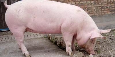 猪价连跌几个月了,5月猪价能反弹吗?
