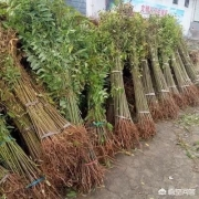 家里三亩荒地,种上香椿,十年后收木材做家具怎样?