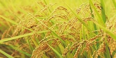 为什么大多数北方人喜欢吃面食,而大多数南方人喜欢吃米食?