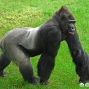 银背大猩猩的攻击力有多强?能跟老虎等猫科动物相比吗?