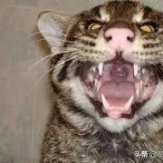 把成年老虎缩小到家猫大小,人类还会害怕吗?