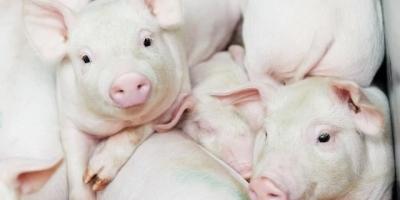 未来三年养猪前景如何?